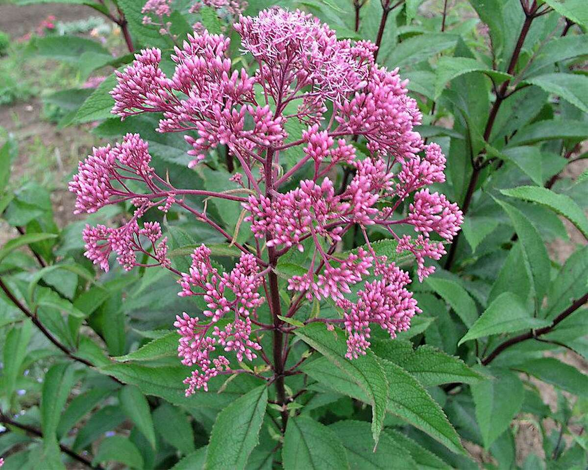 Native bees need nesting sites as well as flowers. The hollow stems of Joe Pye Weed can provide homes for species that are cavity nesters.