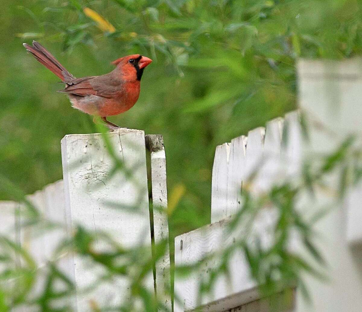 A male cardinal is pictured in San Antonio. Cardinals are common in this area with males being bright red and females being brown with red accents.