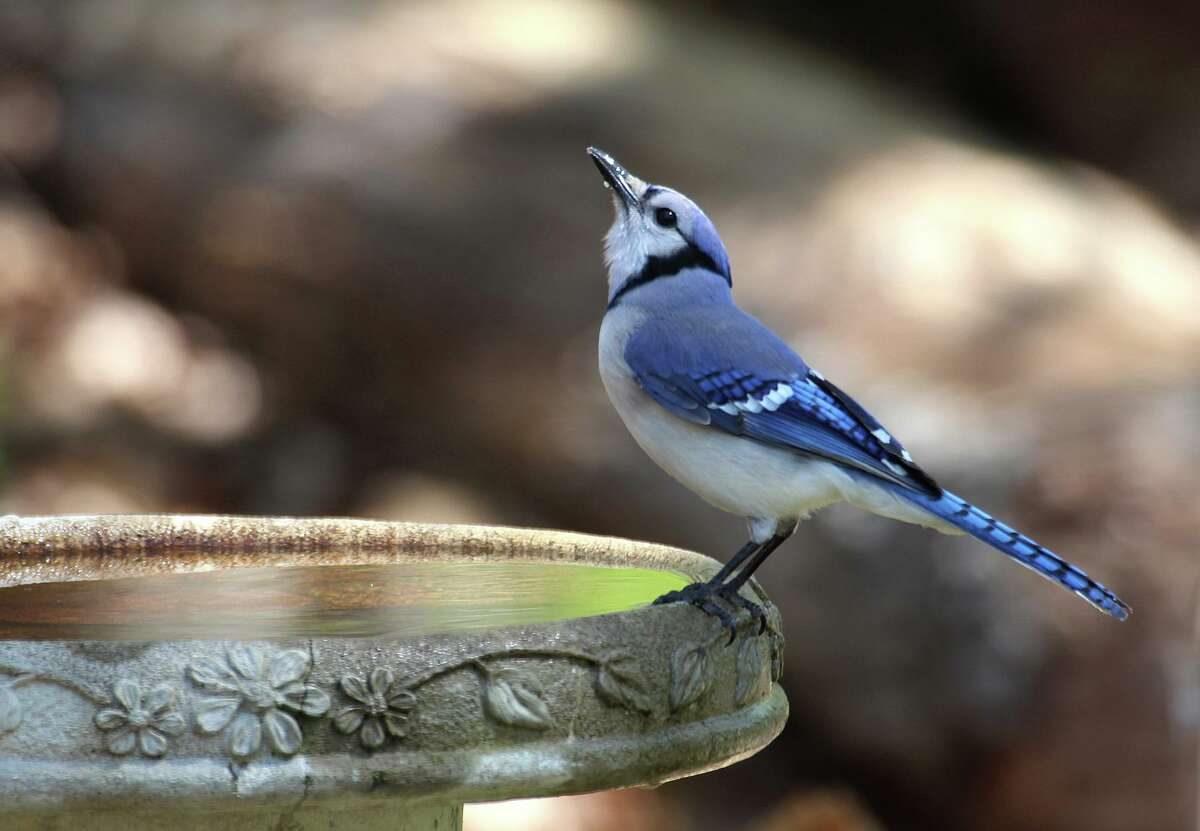 A Blue Jay is pictured at a bird bath. Blue Jays are also common in Montgomery County and are noted for their vibrant blue outer features.