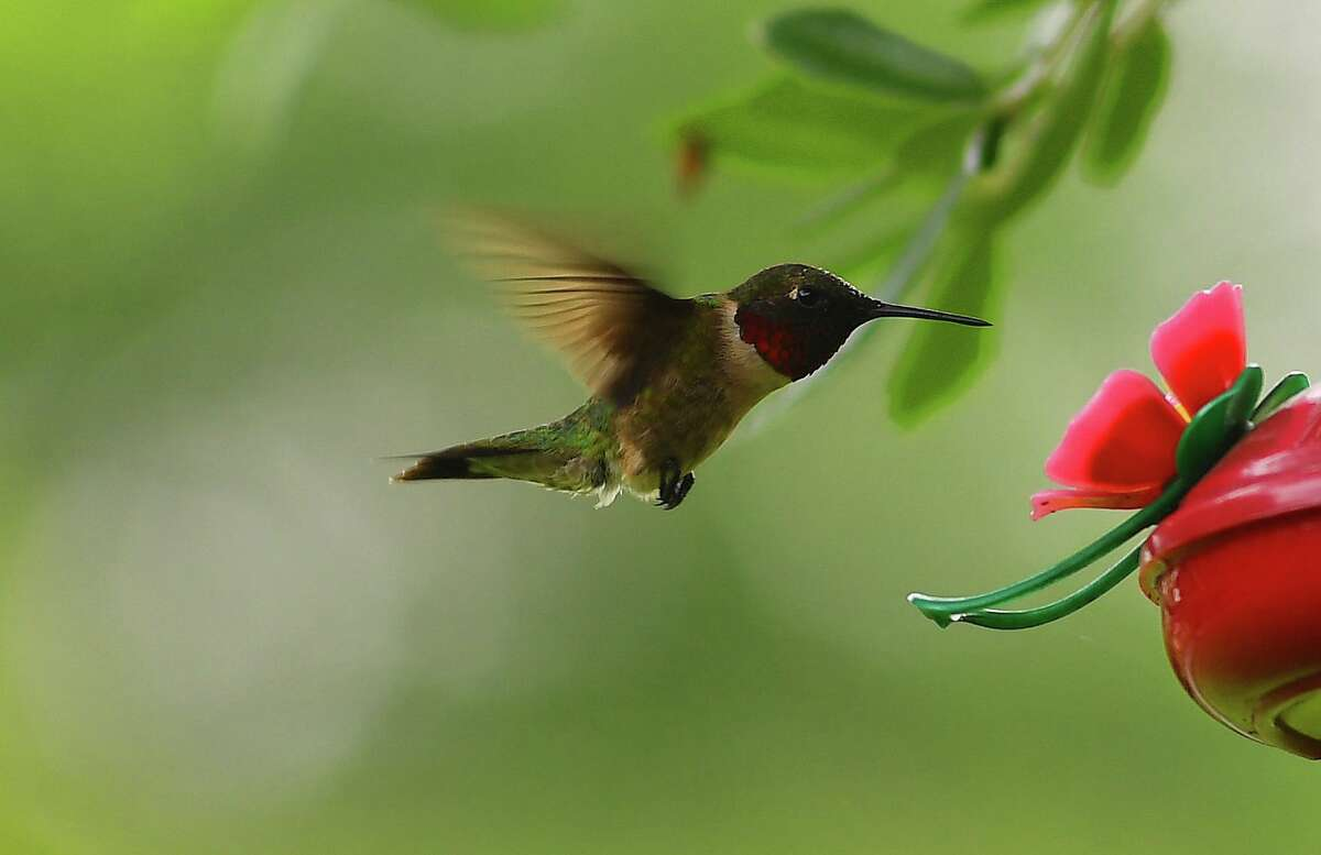 A hummingbird feeds in Old Town Wednesday, April 22. Sightings have grown more abundant as Spring continues and brings a seasonal wave of the birds back to the region. Photo taken Wednesday, April 22, 2020 Kim Brent/The Enterprise