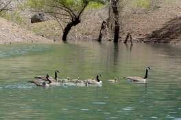 """The """"Shasta Lake Navy,"""" a flotilla of two mated pairs of Canada geese and this year's goslings"""