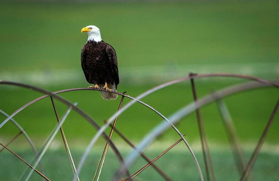 A bald eagle sits on irrigation equipment on a farm in the Klamath Basin outside Malin, Ore., on Monday, May 18, 2020. Nowhere has California�s dry winter hit harder than the state�s far north, where hundreds of farmers along the Oregon border now risk having their irrigation water shut off and their crops destroyed. The Klamath Project, which ships water from the High Cascades to more than 200,000 acres of onions, potatoes, wheat and barley across two states, is running low. Water districts supplied by the project say there may not be water for farms after next month. The last time the water agencies of the Klamath Basin warned of such a dire situation, farmers marched on the gates of the project in protest and U.S. marshals were called in to keep the peace. Today, the prospect of running out of water comes as the farm-dependent region faces the additional economic blow of the coronavirus pandemic. Photo: Carlos Avila Gonzalez / The Chronicle