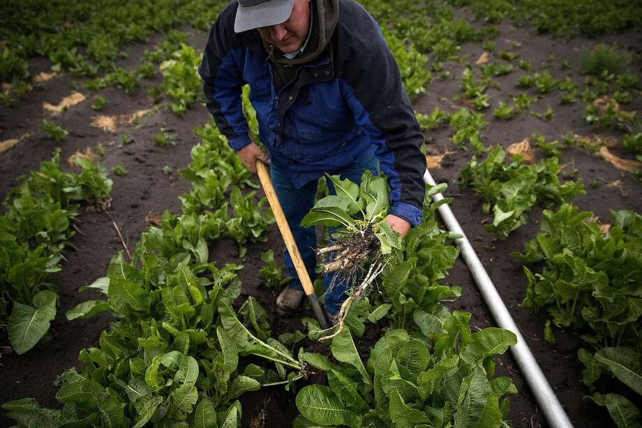 Farmer Scott Seus pulls up an organic horseradish plant in a field he is trying to keep viable despite a lack of water on his farm in the Klamath Basin outside Tulelake, Calif., on Monday, May 18, 2020. Nowhere has CaliforniaÕs dry winter hit harder than the stateÕs far north, where hundreds of farmers along the Oregon border now risk having their irrigation water shut off and their crops destroyed. The Klamath Project, which ships water from the High Cascades to more than 200,000 acres of onions, potatoes, wheat and barley across two states, is running low. Water districts supplied by the project say there may not be water for farms after next month. The last time the water agencies of the Klamath Basin warned of such a dire situation, farmers marched on the gates of the project in protest and U.S. marshals were called in to keep the peace. Today, the prospect of running out of water comes as the farm-dependent region faces the additional economic blow of the coronavirus pandemic. Photo: Carlos Avila Gonzalez, The Chronicle