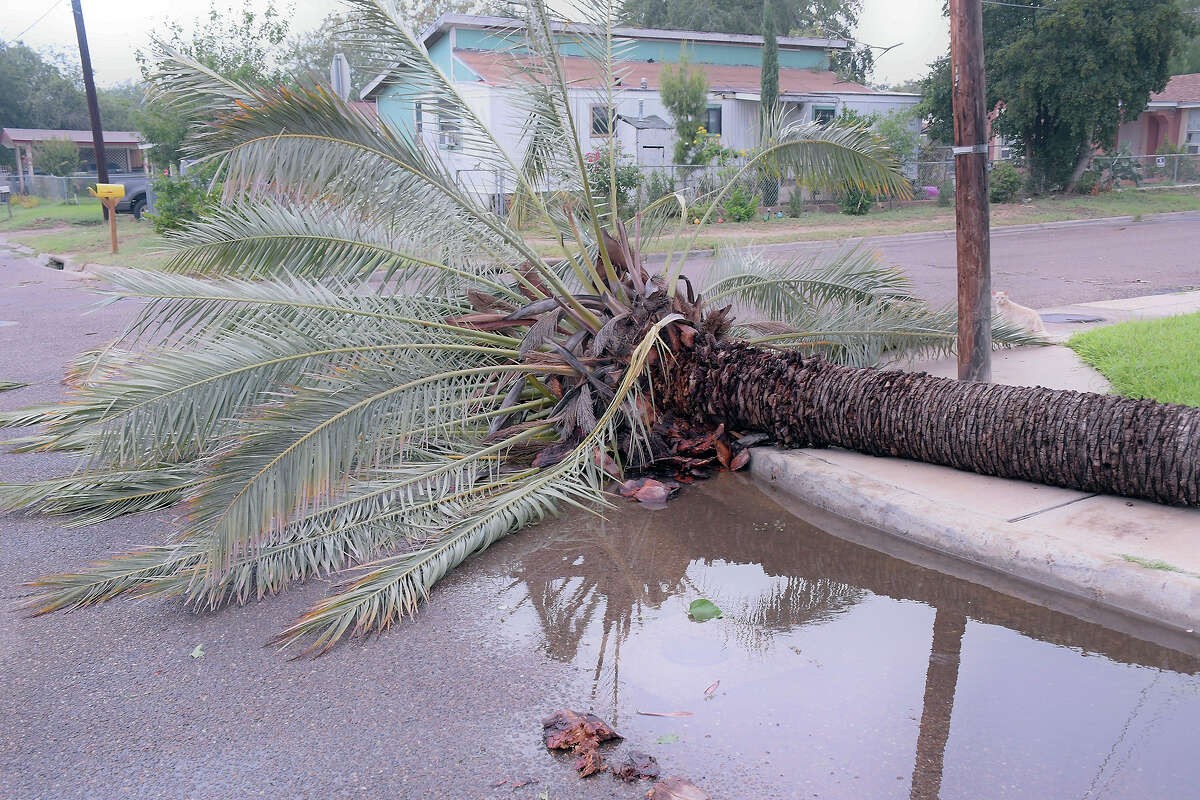 This palm tree was cut in half at, the 2600 block of Tapeyste Avenue in east central Laredo, by strong winds Thursday, May 21, 2020, as severe weather swept through the area.