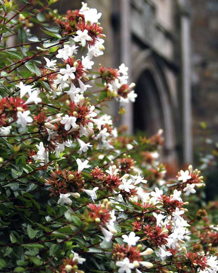 Abelia looks delicate, but it is a proven plant in Texas landscapes Photo: Courtesy Neil Sperry