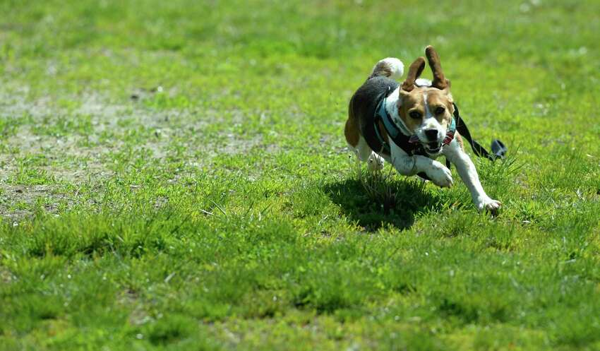 Sadie sprints around the reopened Miry Brook Road dog park, with Jean Carlson on Friday, May 22, 2020, in Danbury, Conn.