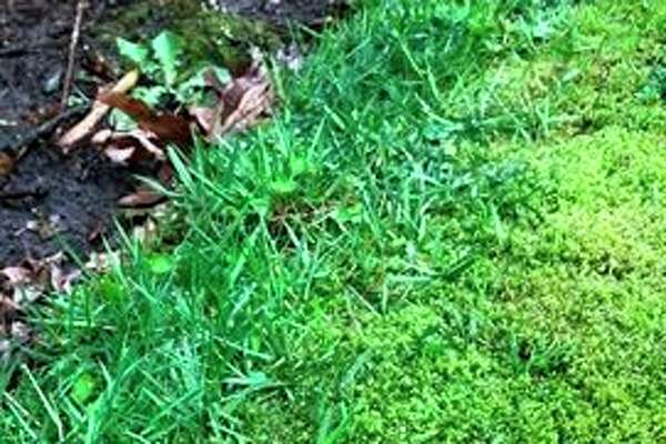 Moss in your lawn? Why fight it if it grows better that the grass?(Photo provided/Chuck Martin)