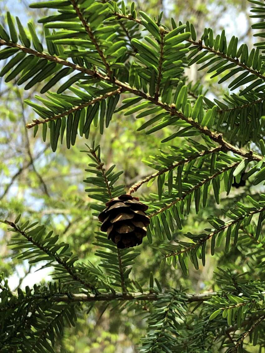 We try to walk daily at 5 Rivers. I stopped and looked up to see this tiny pine cone hanging above me.A It begged for a picture. (Betsey Kuzia)