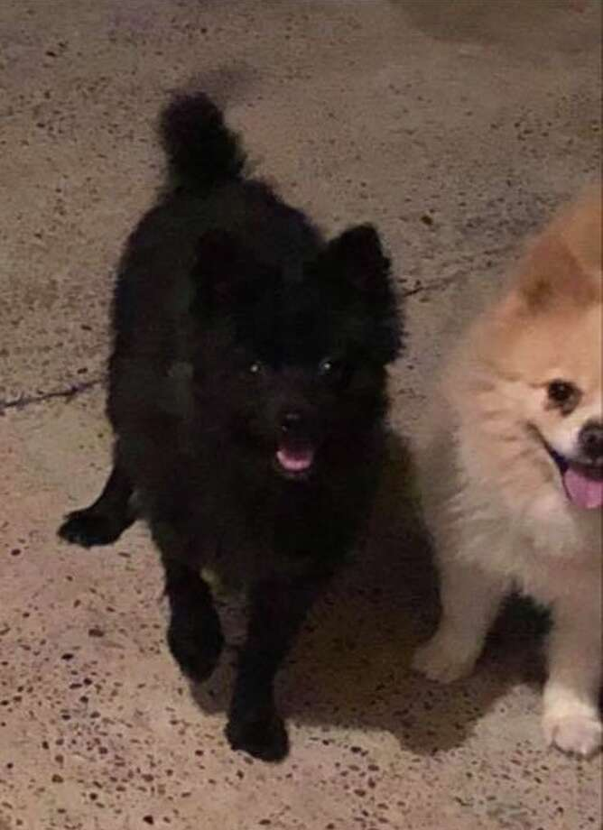 """Shown is a 1-year-old male Pomeranian the """"Find a home: Laredo tx"""" Facebook page recently helped find a home.    Photo: Courtesy Photo"""