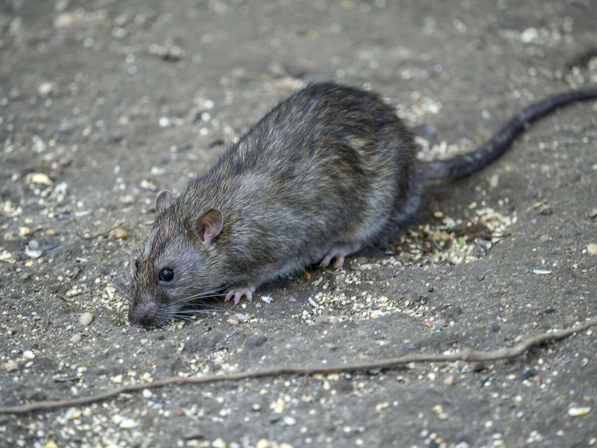 A common brown rat. The CDC is warning of
