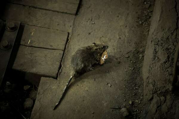 FILE -- A rat in a subway station in New York, Nov. 20, 2017. As restaurants and other businesses have closed during the coronavirus pandemic, rats may become more aggressive as they hunt for new sources of food, the Centers for Disease Control and Prevention warned. (Damon Winter/The New York Times)