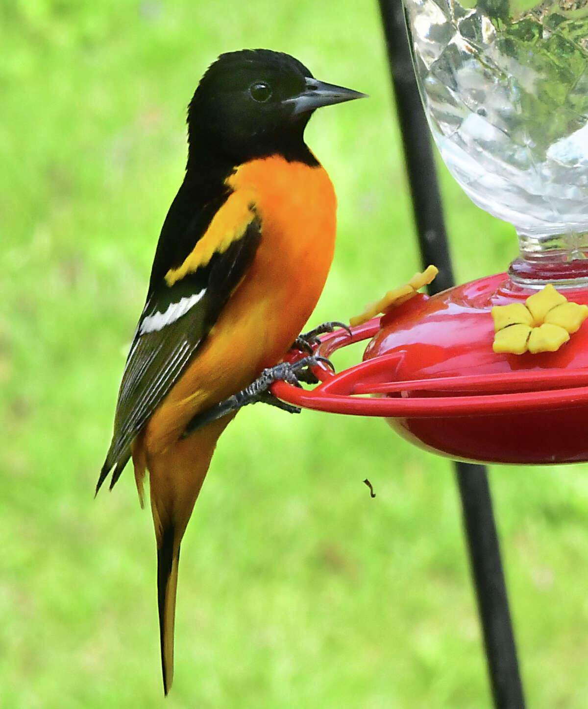 A Baltimore oriole is seen on a hummingbird feeder in a yard on Monday, May 25, 2020 in Albany, N.Y. (Lori Van Buren/Times Union)