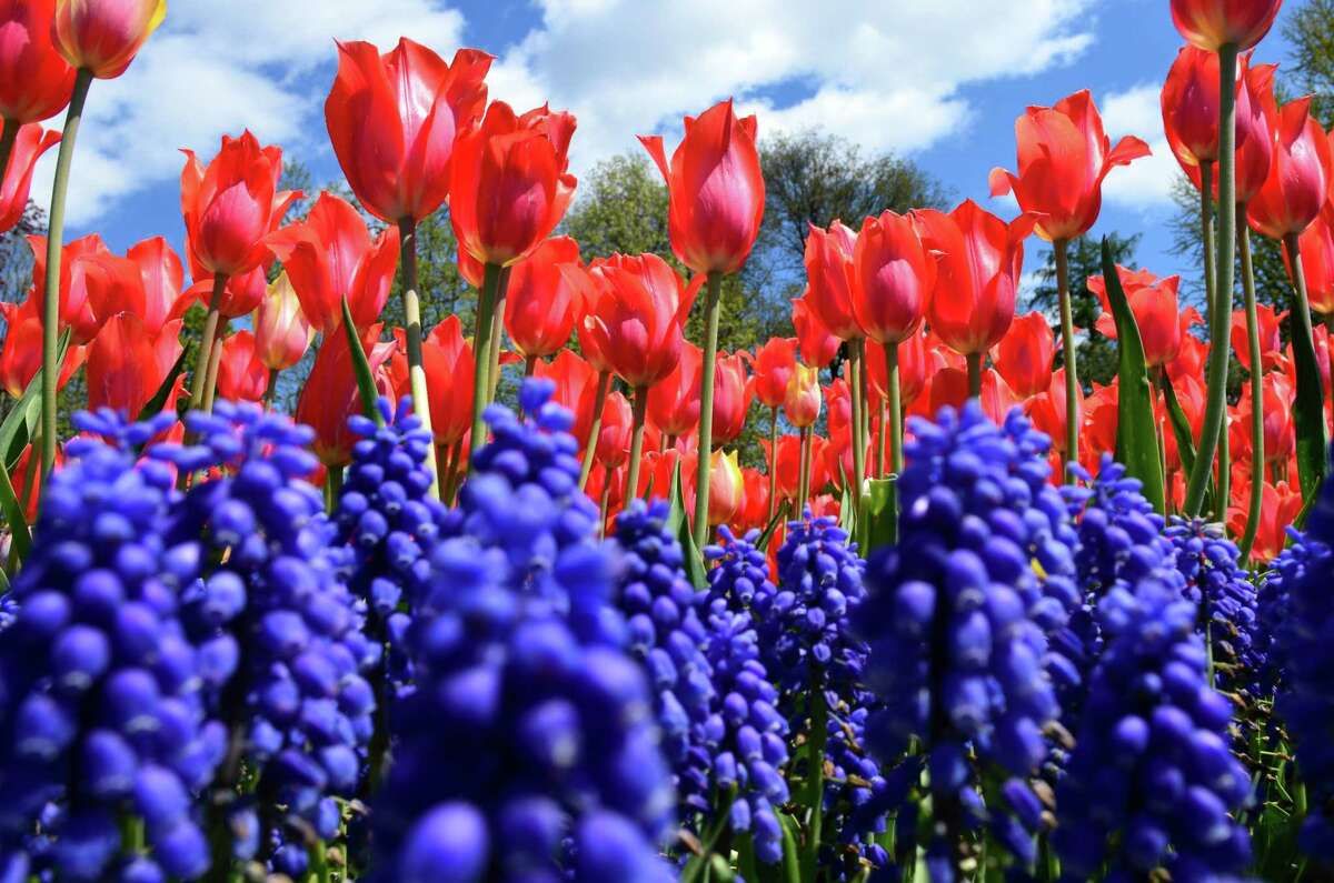 Tulips in Washington Park fromA Rachel Holt of Reach Creative, a small local business owner.