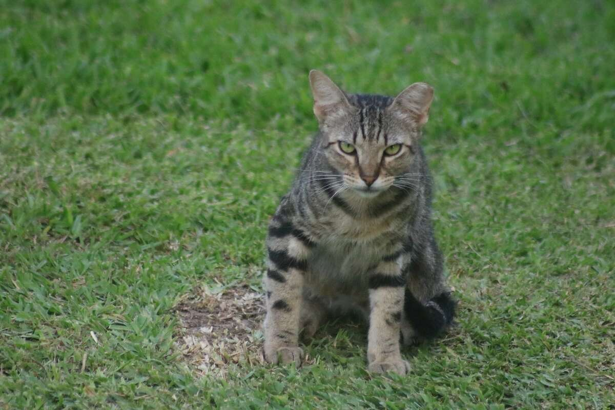 An unhappy feral cat sulks at Bay Area Park. After the East Bay Regional Parks District admitted to shooting cats at an Oakland shoreline park to protect endangered birds and mice , the agency is considering a policy to to protect feline predators - as well as their prey.