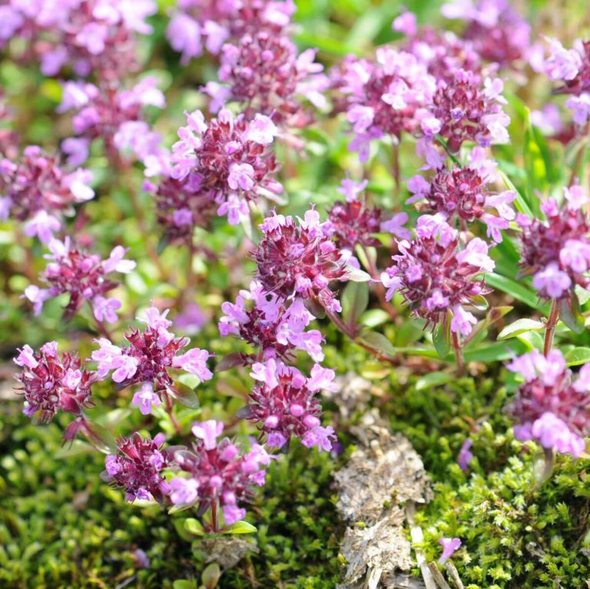 Creeping Thyme Low-growing mats of Creeping Thyme are covered in teeny purple or white flowers in late spring, which makes it a haven for pollinators. This tenacious perennial spreads rapidly, thrives in full sun, is cold hardy, grows in poor soil, and is drought tolerant once established. And, of course, you can snip off the leaves for cooking.  Shop Creeping Thyme