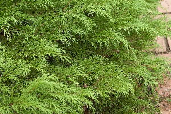 Siberian Cypress Hailing all the way from Siberia, this cold-hardy evergreen has fern-like foliage that turns a pretty bronzy color in colder climates. Try to plant it in large groupings on a hillside or along the house's foundation to prevent erosion. It likes full sun. Shop Siberian Cypress