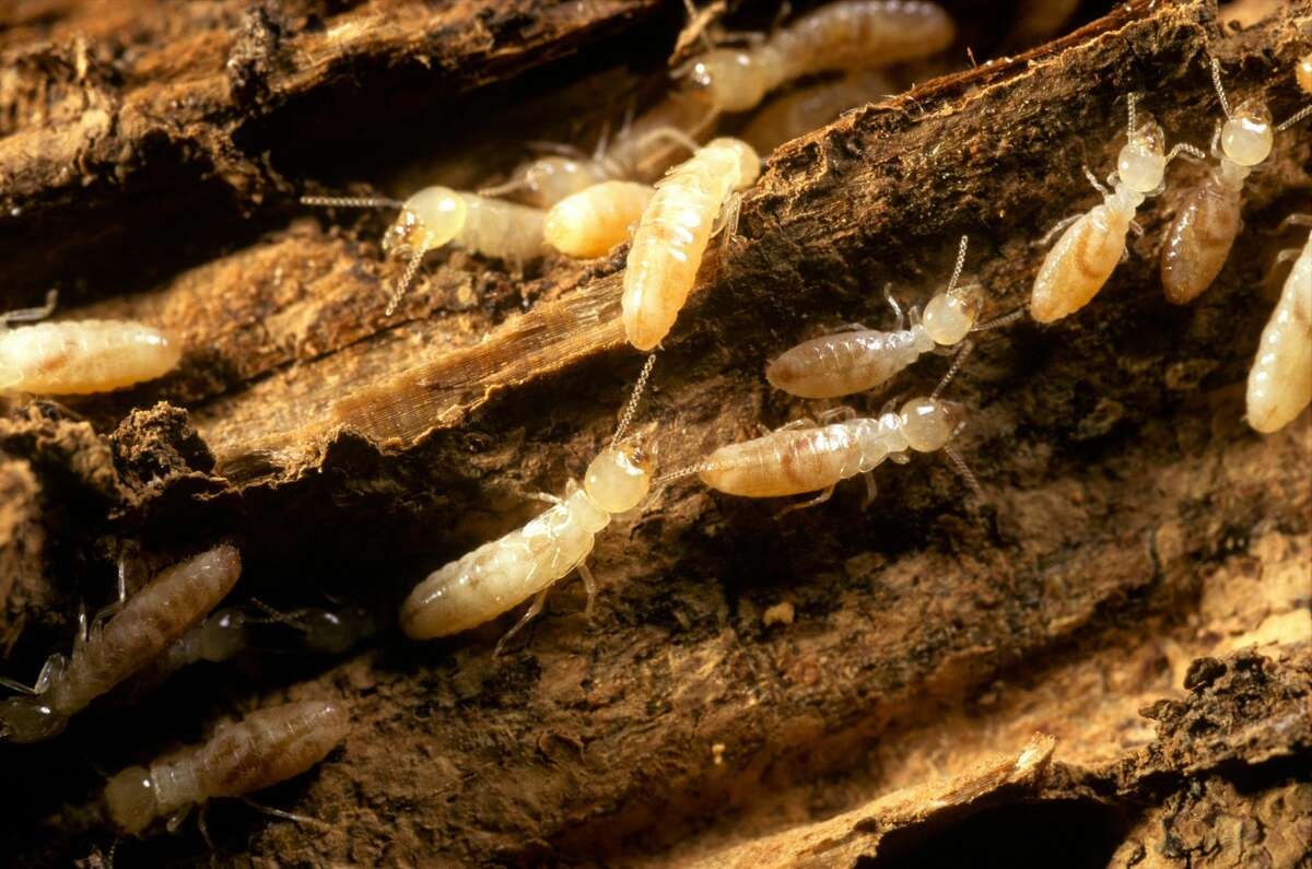 Termites | In the summertime, Texas has to worry about drywood termites who swarm and mate during the late summer and early fall, according to Texas A&M. They also like to swarm around lights at dusk or early evening. While medically harmless, they are a pain for homeowners to treat.