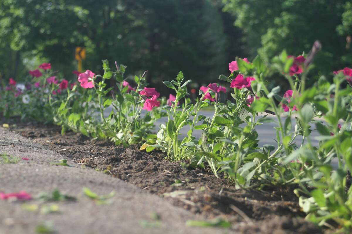 Freshly planted petunias sit in a bed along the north side of Main Street in Onekama. The Petunia Parade and Blossom Boulevard were both planted on Wednesday.
