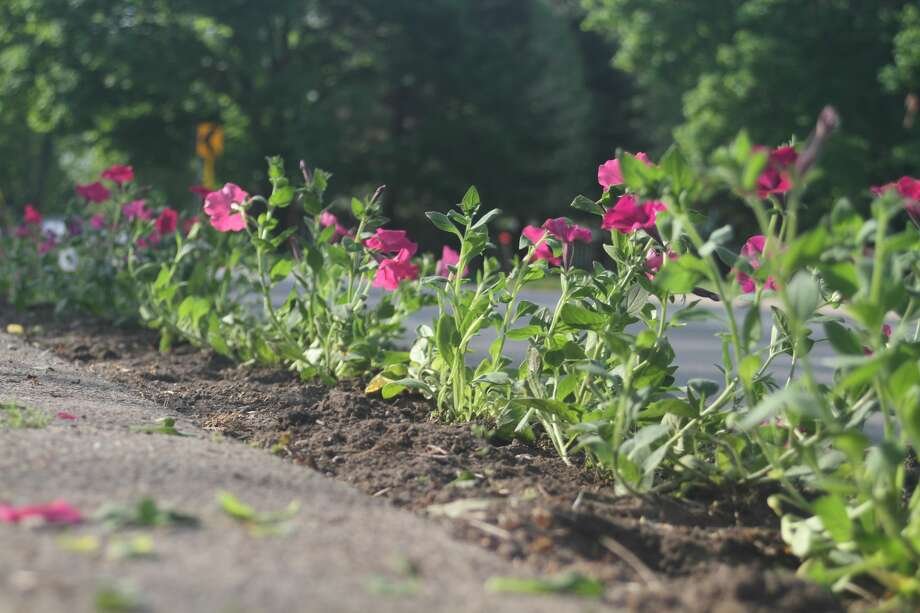 Freshly planted petunias sit in a bed along the north side of Main Street in Onekama. The Petunia Parade and Blossom Boulevard were both planted on Wednesday. Photo: Kyle Kotecki/News Advocate