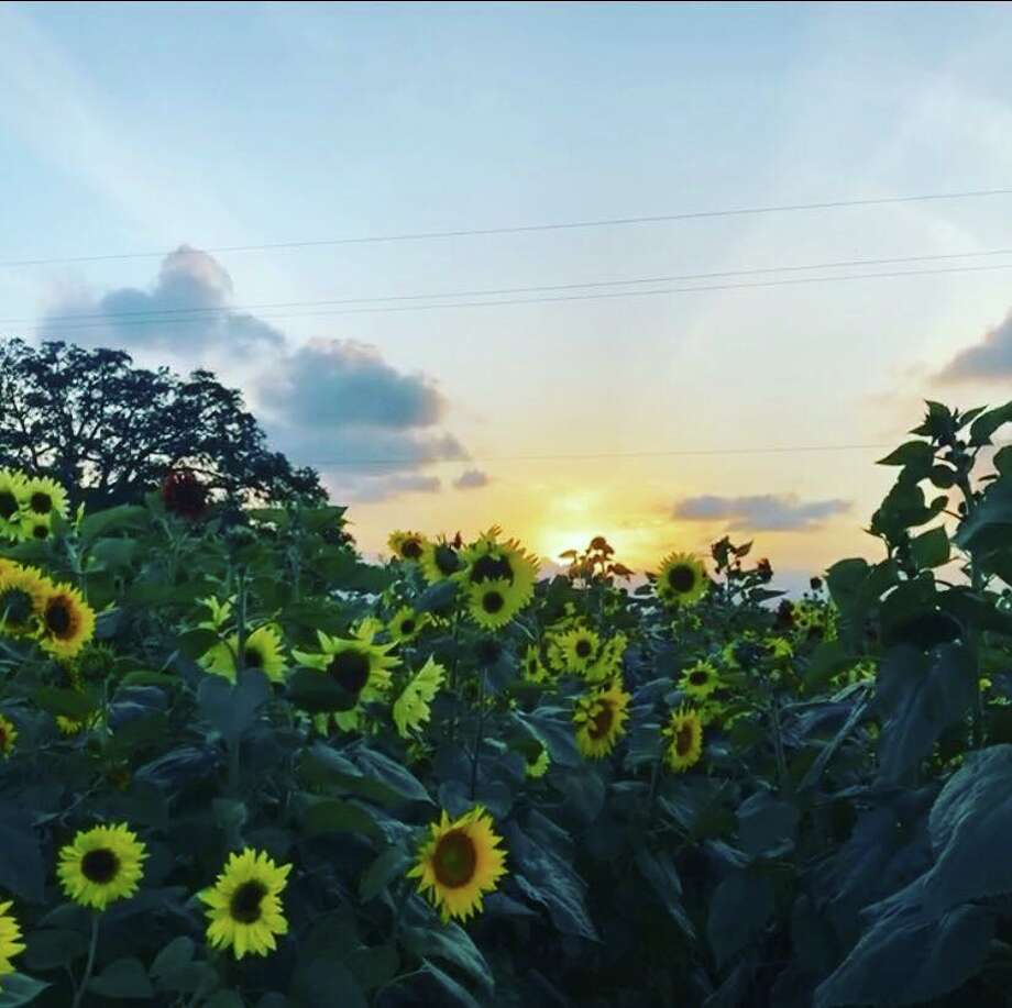 For just a few more days, you can pick your own sunflowers at this farm just outside of Houston. Photo: Facebook