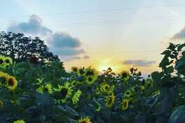 For just a few more days, you can pick your own sunflowers at this farm just outside of Houston.