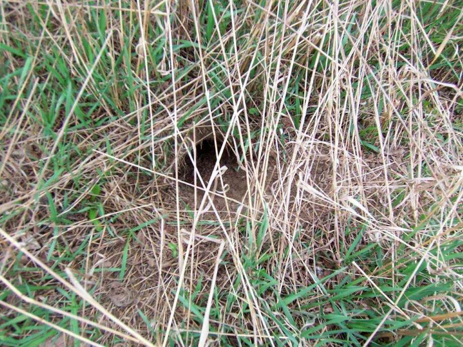 """Woodchuck """"sneak holes"""" are usually quite concealed because woodchucks create them by digging out from below and leaving no exposed earth. The holes are a key for escaping danger, and the writer unknowingly stepped in one of them while pheasant hunting. (Tom Lounsbury/Hearst Michigan)"""