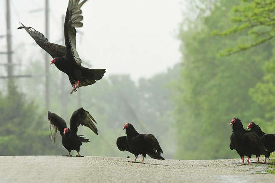 Something grabs the attention of a volt of vultures as they gather on the side of a road near Waverly.