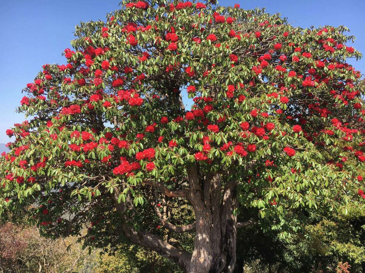 Rhododendron Tree in the forest. It is an Uttarakhand native and is the state flower. It is called Buransh.
