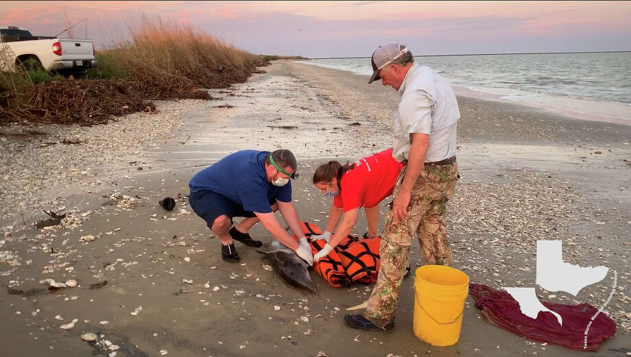 TMMSN has been taking care of a dolphin calf since finding him stranded on a beach in Louisiana last week. Photo: Texas Marine Mammal Stranding Network (TMMSN)
