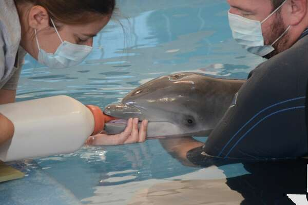 TMMSN has been taking care of a dolphin calf since finding him stranded on a beach in Louisiana last week.