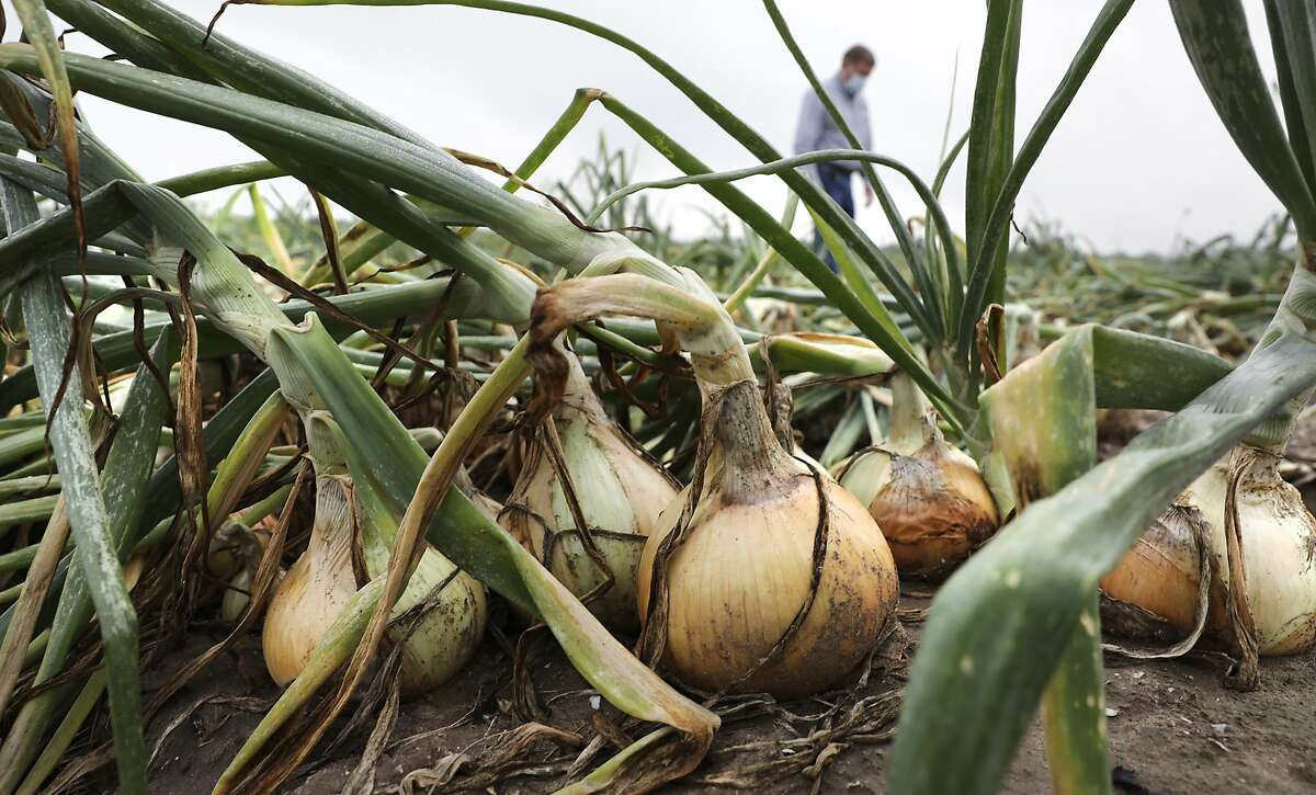 Mike Helle of Green Gold Farms, Inc. in Edinburg, Texas, inspects onions in a field that may not be picked. Farmers and field workers in the Rio Grande Valley are feeling the coronavirus pinch. With the closure of restaurants nationwide, there isn't enough demand for the produce that was planted three to four months ago. Some crops, like onions, remain in the fields where they may rot, because there isn't room in the packing houses that are already full, on Tuesday, April 7, 2020.