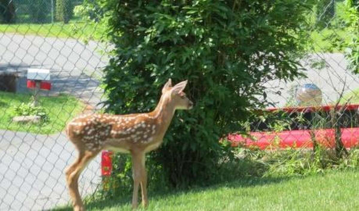 White-tailed deer fawn observed on it's own in the homeowner's yard.