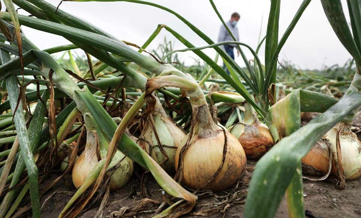 Sweet onions await picking in a field in Edinburg, Texas.