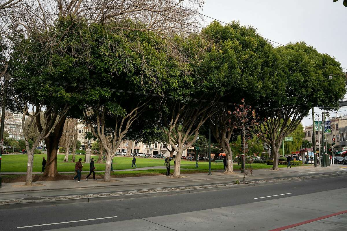 Ficus trees line the sidewalk along Columbus Avenue near Washington Square in San Francisco, Calif., on Sunday, Feb. 24, 2019. All San Francisco ficus street trees are planned to be removed because the danger they pose from failing limbs.
