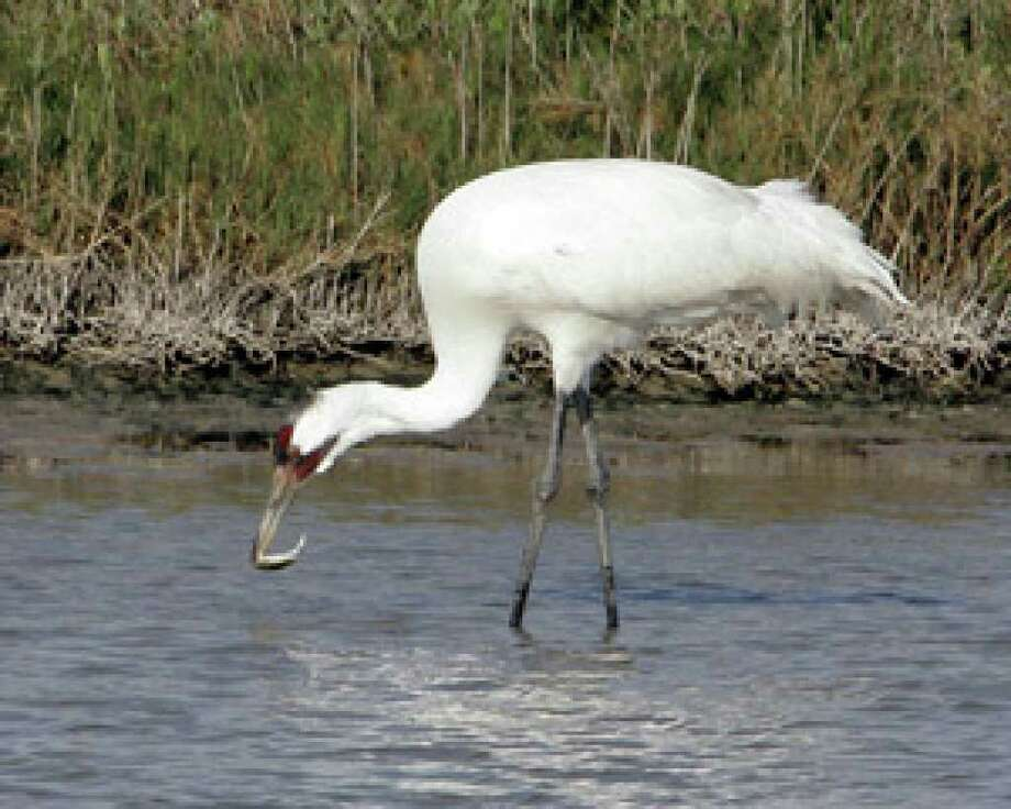 A whooping crane eats a crab at the Aransas National Wildlife Refuge, near Rockport.