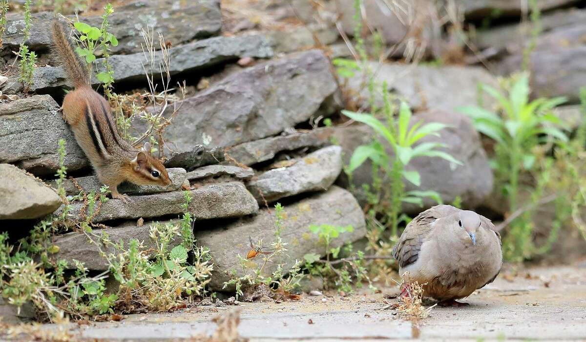 A chipmunk thinks big as it sneaks up on a mourning dove on May 25.