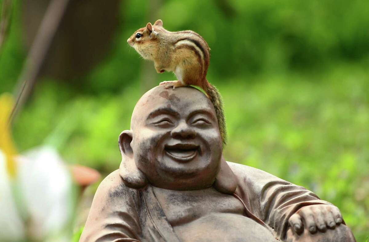 A chipmunk is seen on the head of a Hotei, also known as the Laughing Buddha, on May 19 in Albany, N.Y.