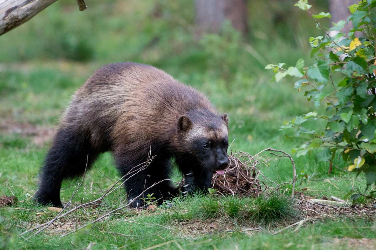 Wolverines in Washington are a rare sight. According to the Washington Department of Fish and Wildlife, there are only about 20 in the state.
