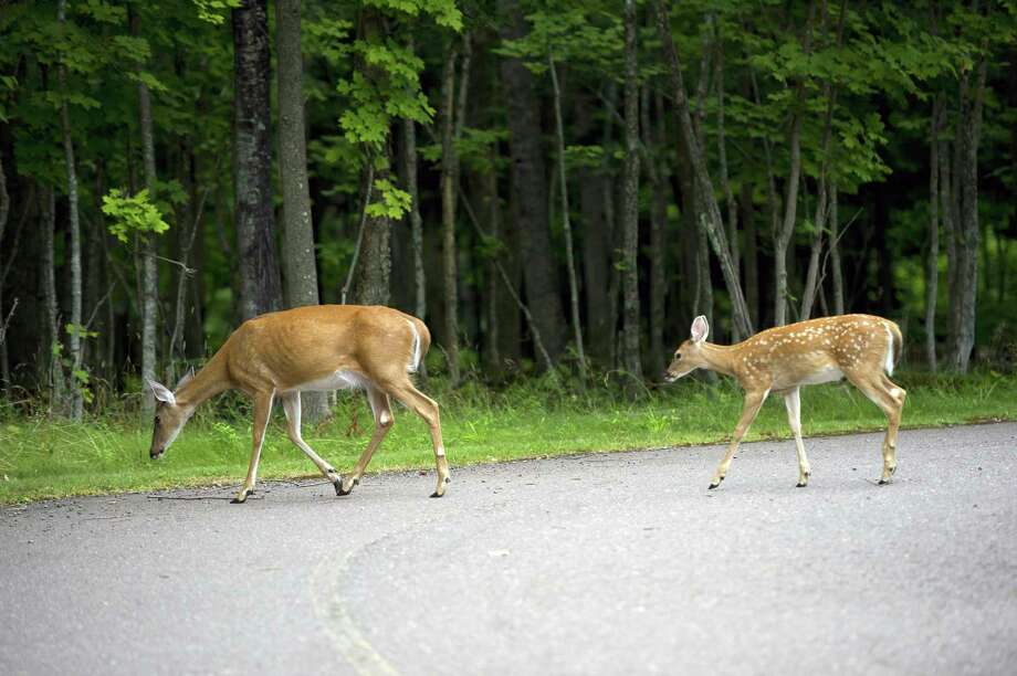 White-tailed deer are common throughout the state, including urban areas.(Courtesy Photo) / 2011 State of Michigan