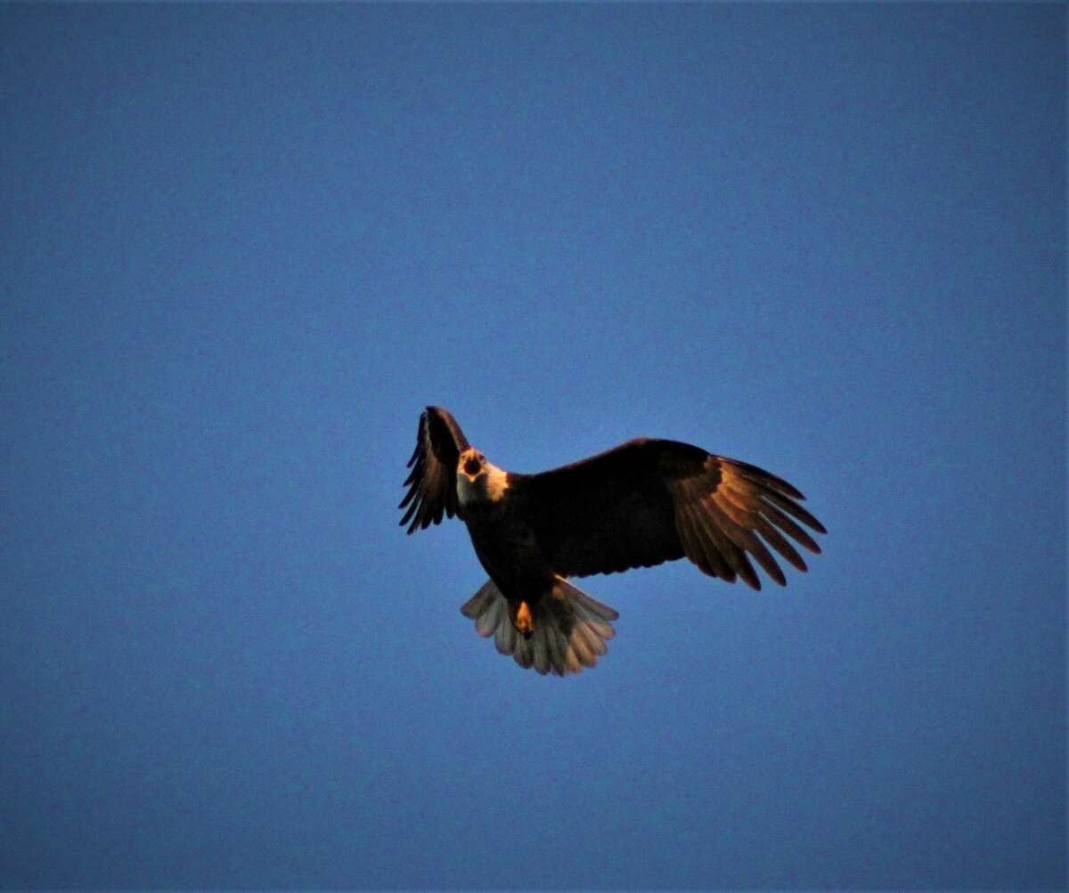American bald eagle on the hunt