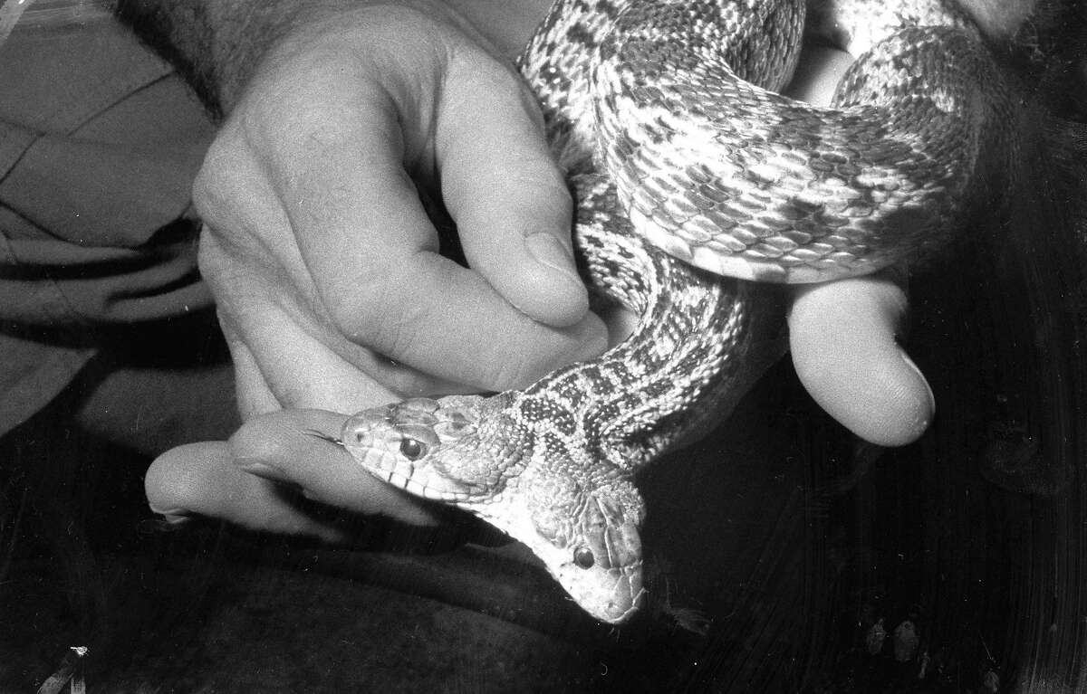 The two-headed gopher snake at the Steinhart Aquarium -- a popular exhibit in the reptile area after its birth in 1966.