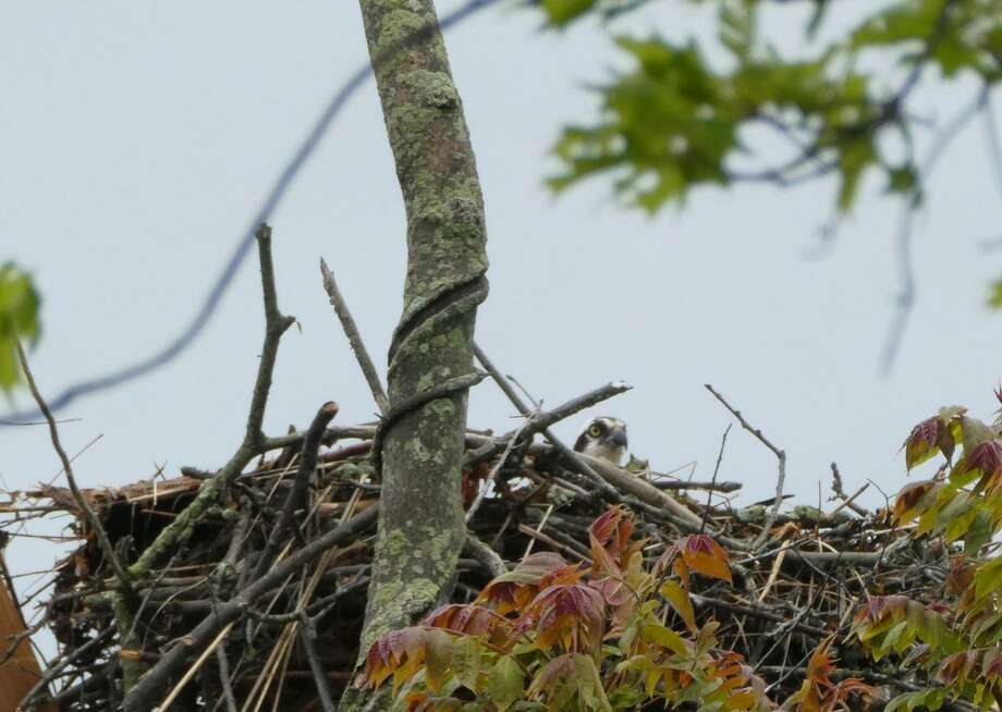 An osprey is building a nest on the platform at the beach at Greenwich Point. Photo: Contributed / The Friends Of Greenwich Point