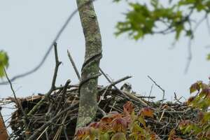 An osprey is building a nest on the platform at the beach at Greenwich Point.