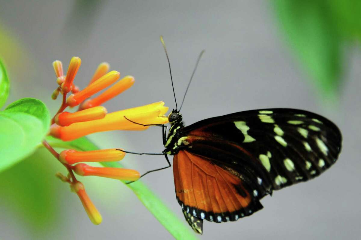 A Heliconius butterfly on a firebush flower