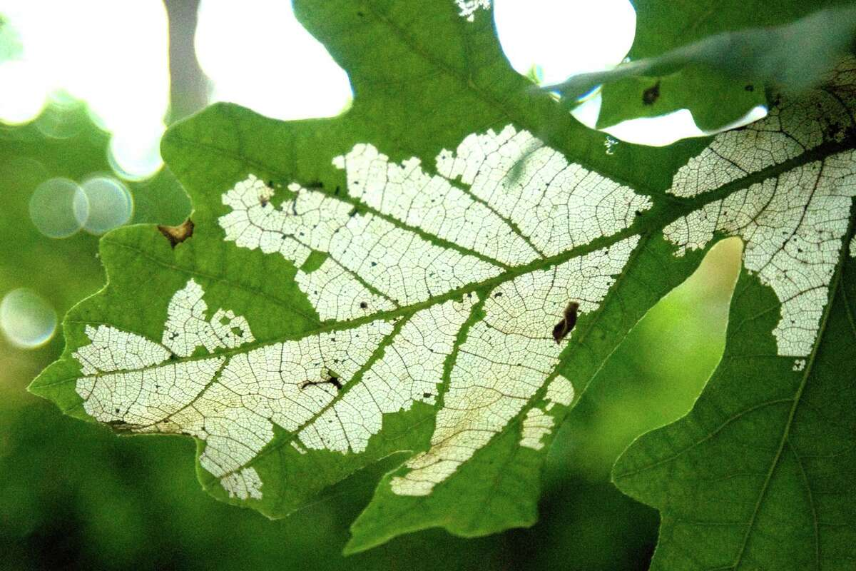 Sawfly damage to bur oak leaves.