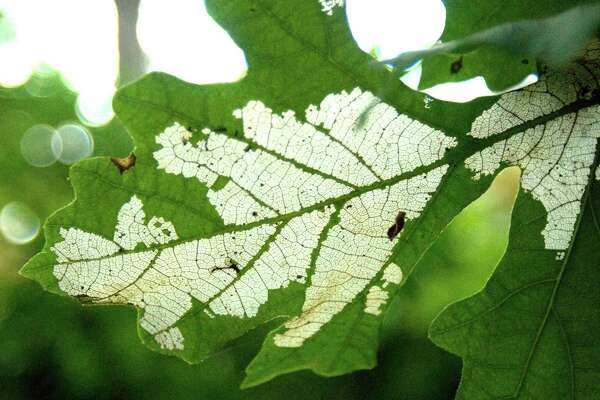Sawfly damage to bur oak leaves.