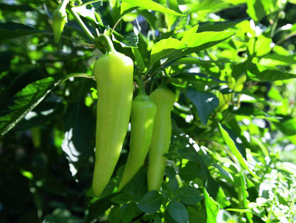 Vegetables that do well in both warm seasons include peppers, like these banana peppers, beans, zucchini and squash.