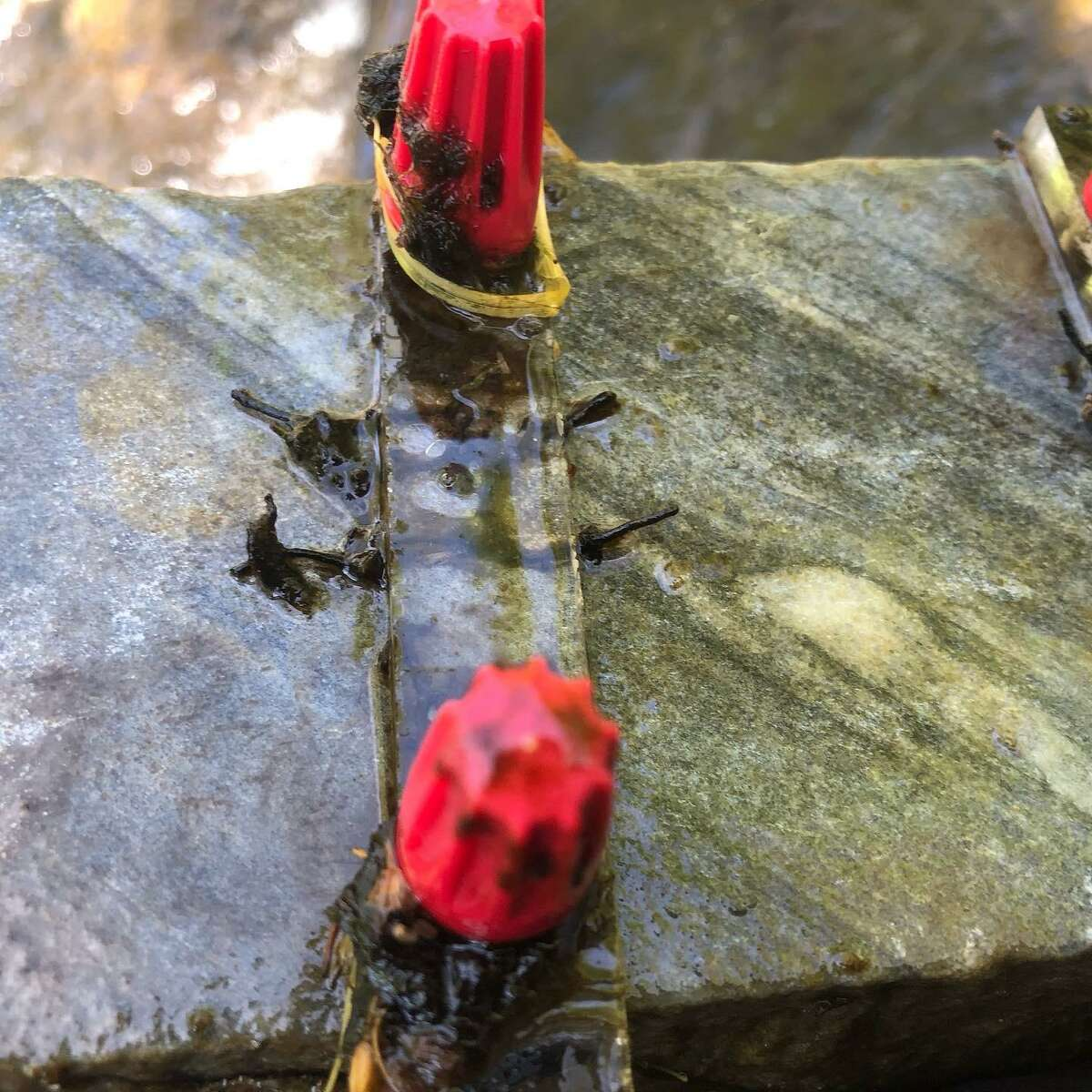 The red bolts that attach a piece of plexiglass to a rock with hornleaf riverweed on it can be seen through the water of the Norwalk River.