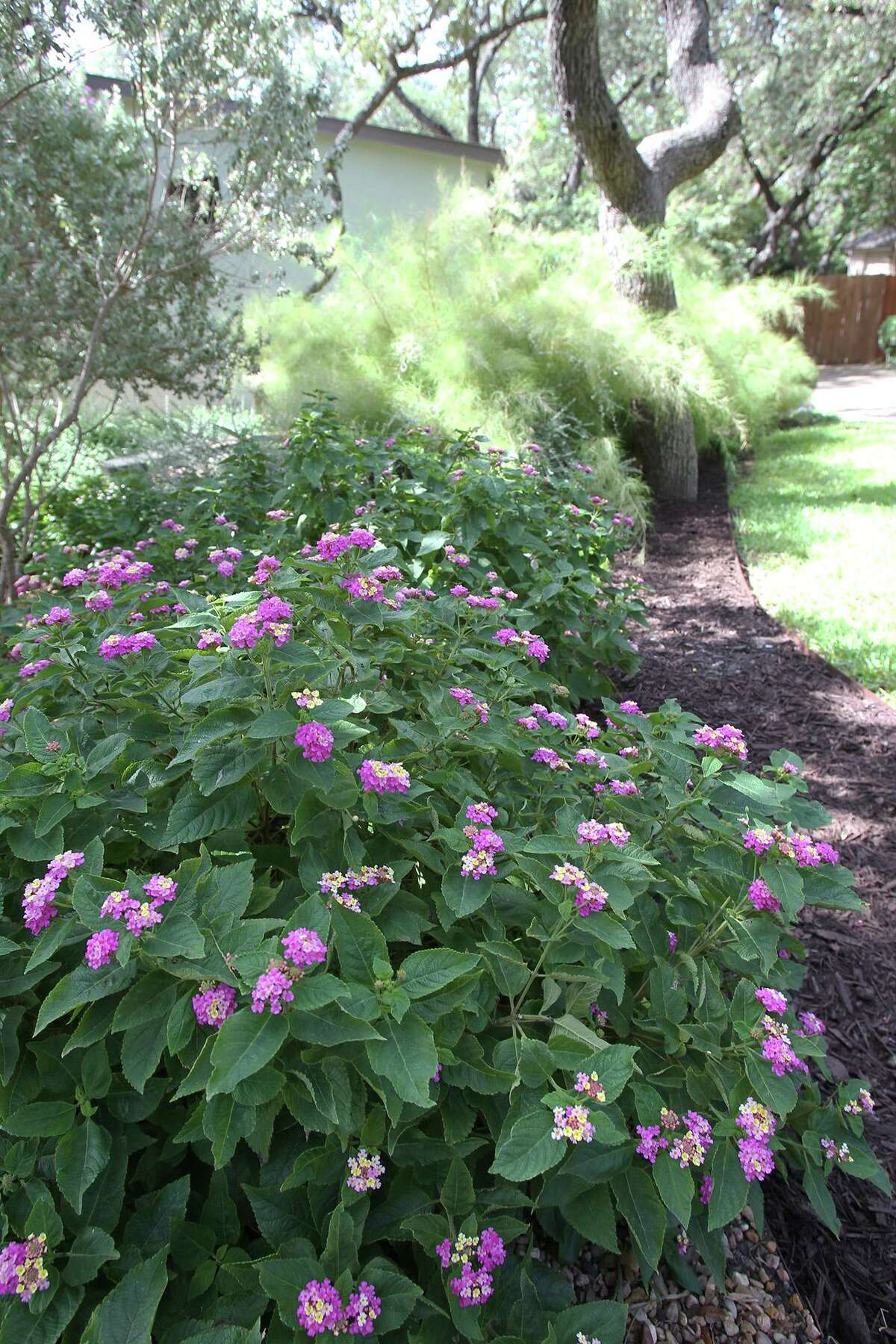 Xeriscape landscaping with lantana and bamboo muhly grass.