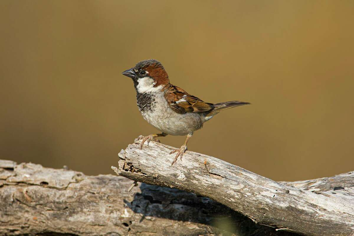 Male house sparrows are handsome even though they do drive us crazy.